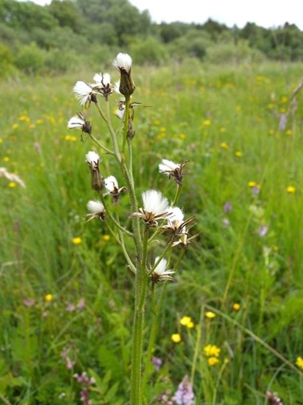 Foto/billede af Afbidt Høgeskæg (Crepis praemorsa)