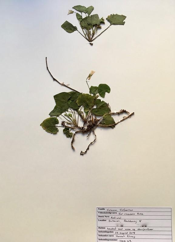 Foto/billede af Krat-Viol (Viola riviniana)