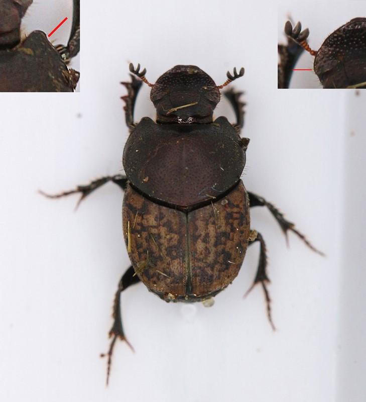 Foto/billede af Lille Møggraver (Onthophagus similis)