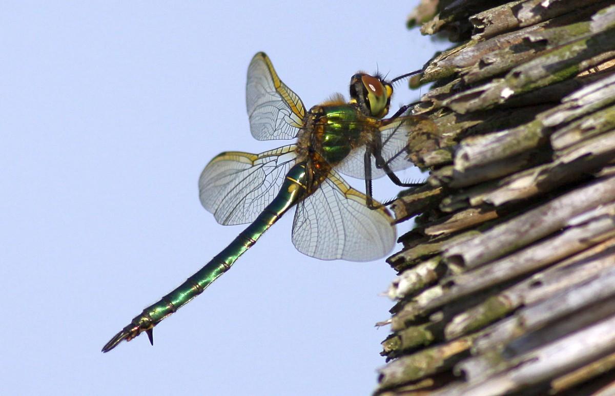 Foto/billede af Glinsende smaragdlibel (Somatochlora metallica)