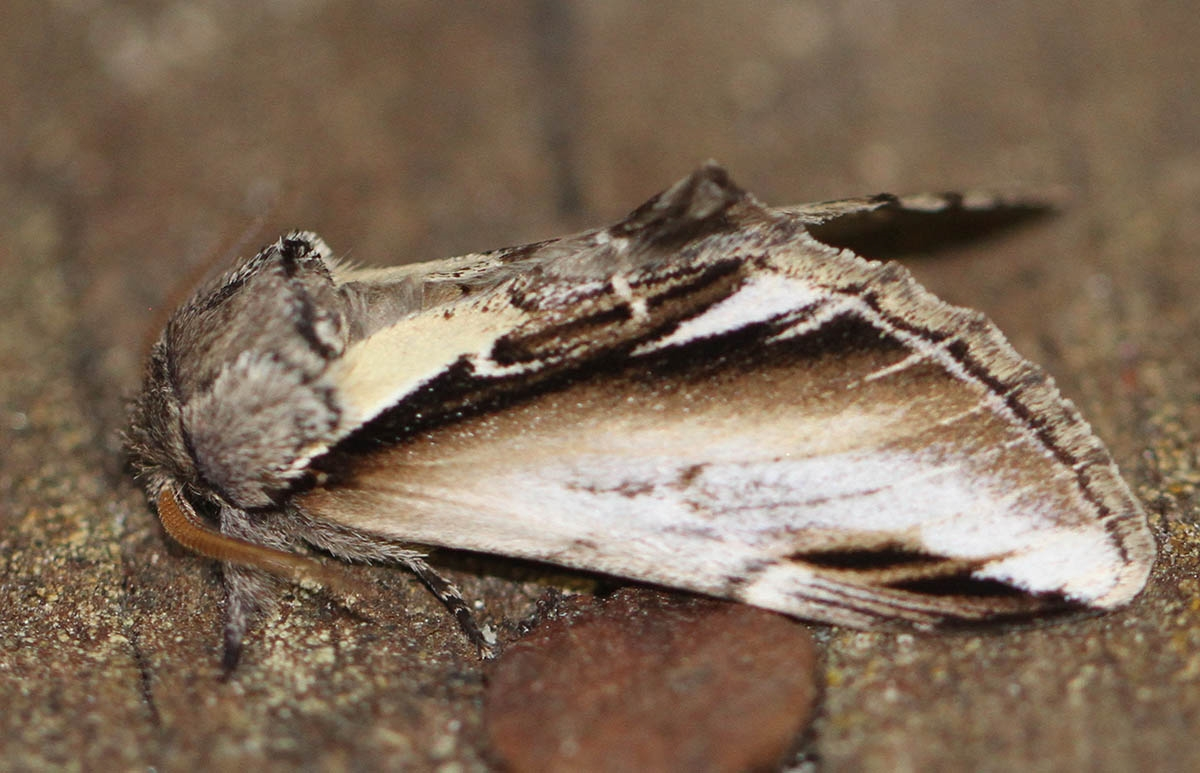 Foto/billede af Birkeporcelænsspinder (Pheosia gnoma)