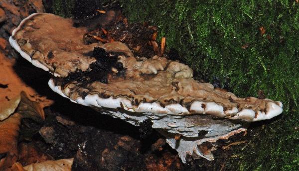 Flad Lakporesvamp (Ganoderma applanatum)