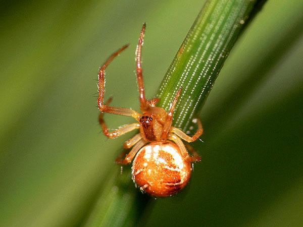 Foto/billede af Almindelig Teltspinder (Phylloneta sisyphia)