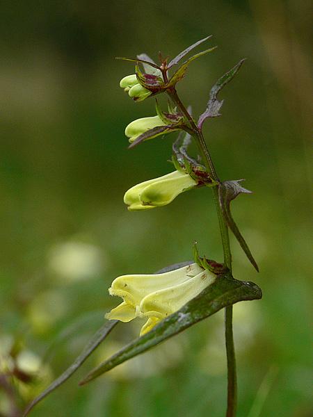 Foto/billede af Almindelig Kohvede (Melampyrum pratense)