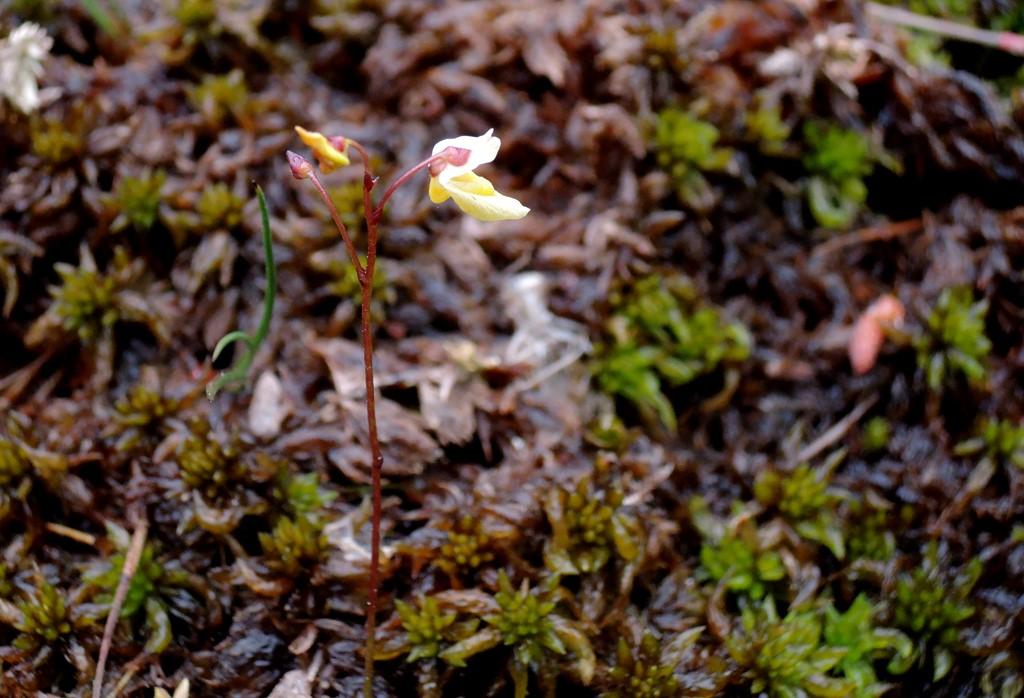 Foto/billede af Liden Blærerod (Utricularia minor)