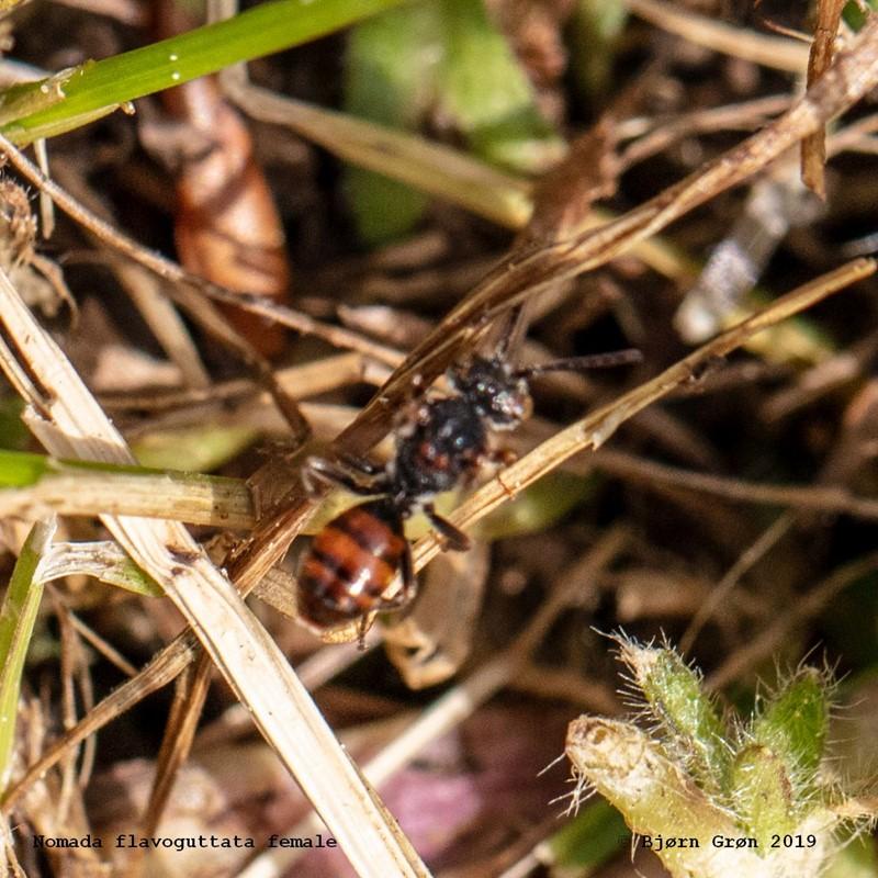 Foto/billede af Nomada flavoguttata (Nomada flavoguttata)