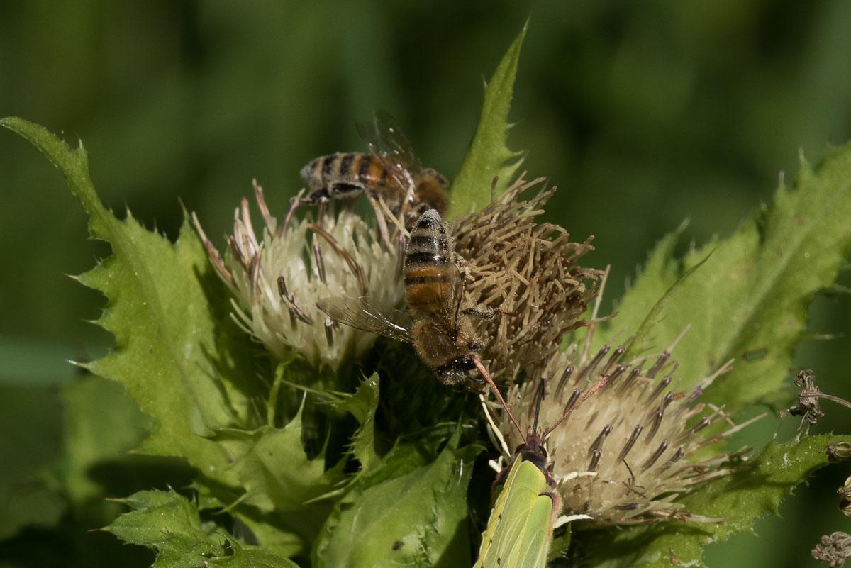 Honningbi (Apis mellifera)