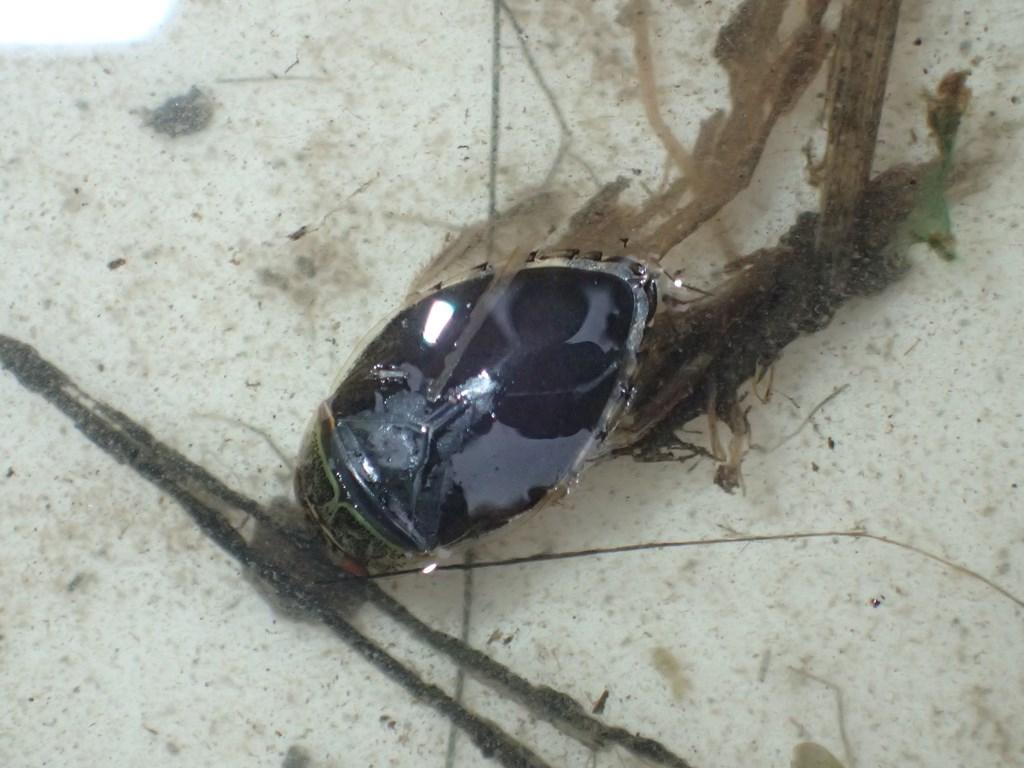 Vandrøver (Ilyocoris cimicoides)