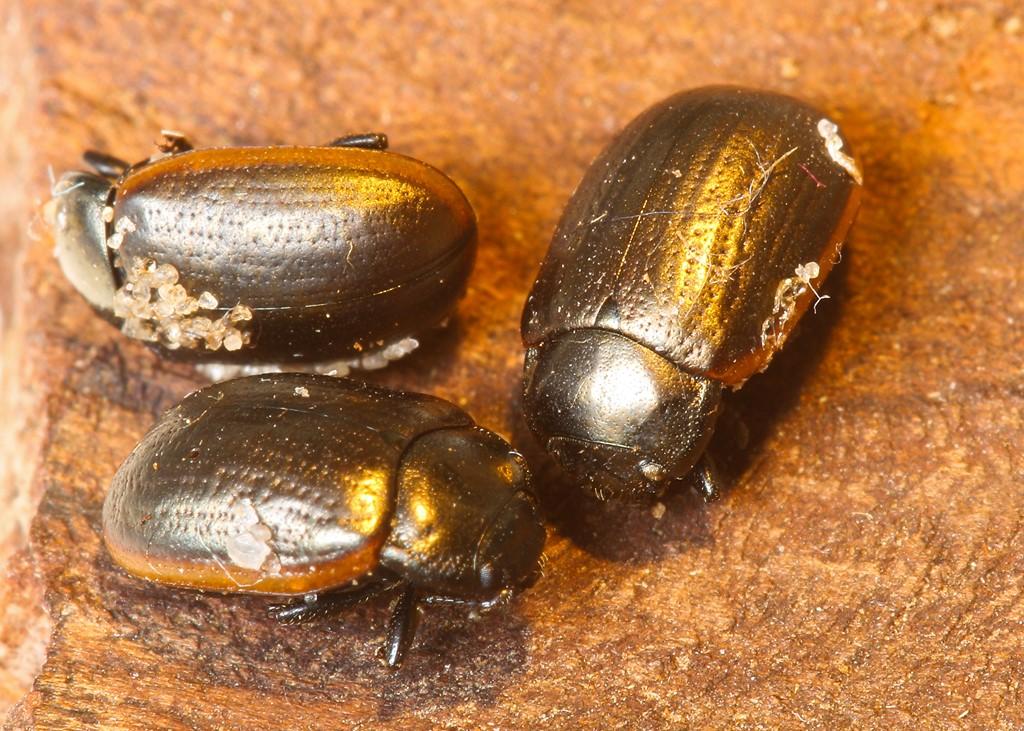 Chrysolina marginata (Chrysolina marginata)