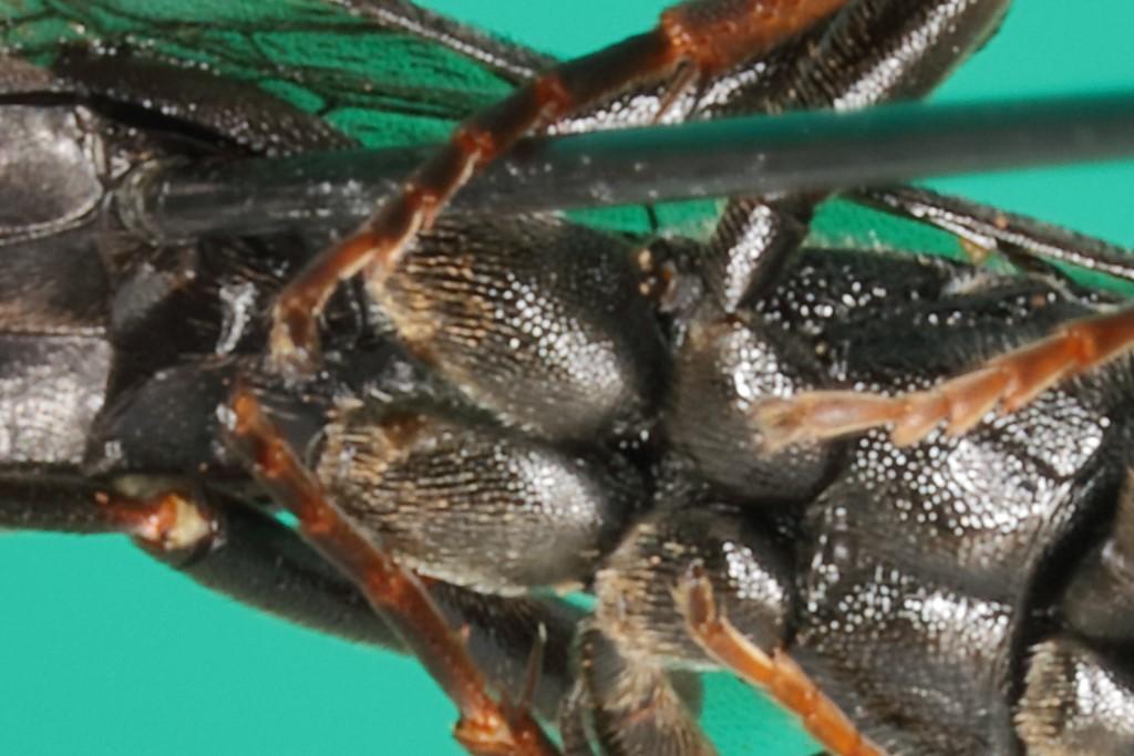 Ichneumon tuberculipes