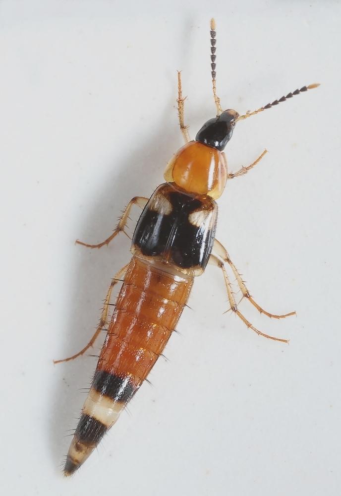 Foto/billede af Lordithon lunulatus (Lordithon lunulatus)