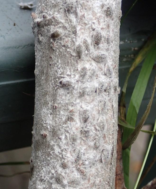 Plocamaphis flocculosa brachysiphon