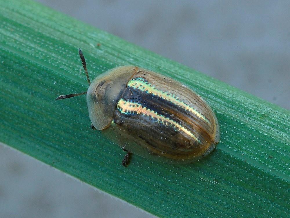 Foto/billede af Sølvstribet Skjoldbille (Cassida nobilis)