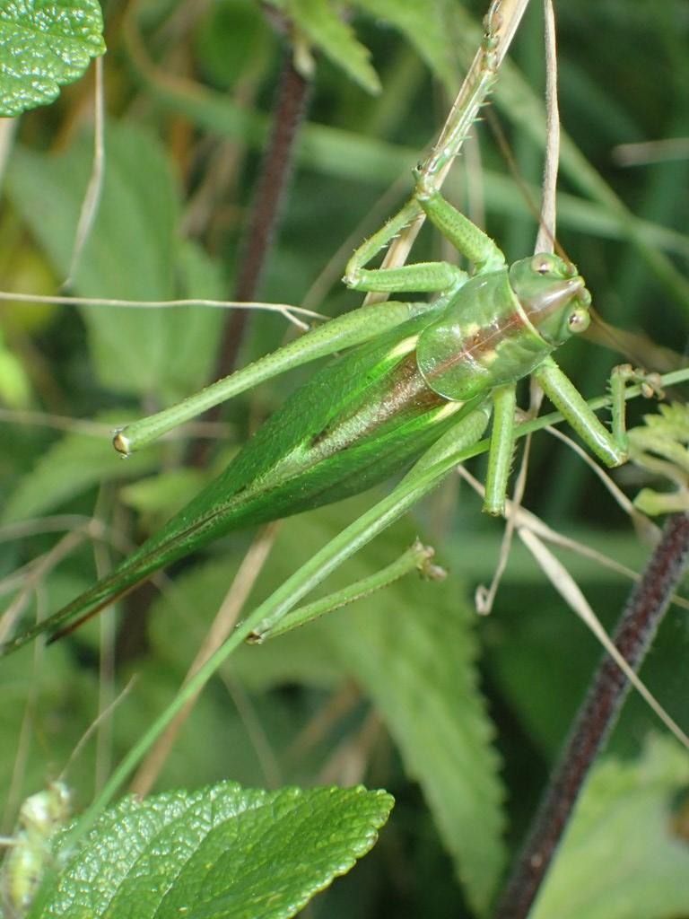 Stor Grøn Løvgræshoppe (Tettigonia viridissima)