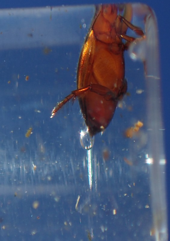Rød Kuglevandkalv (Hyphydrus ovatus)