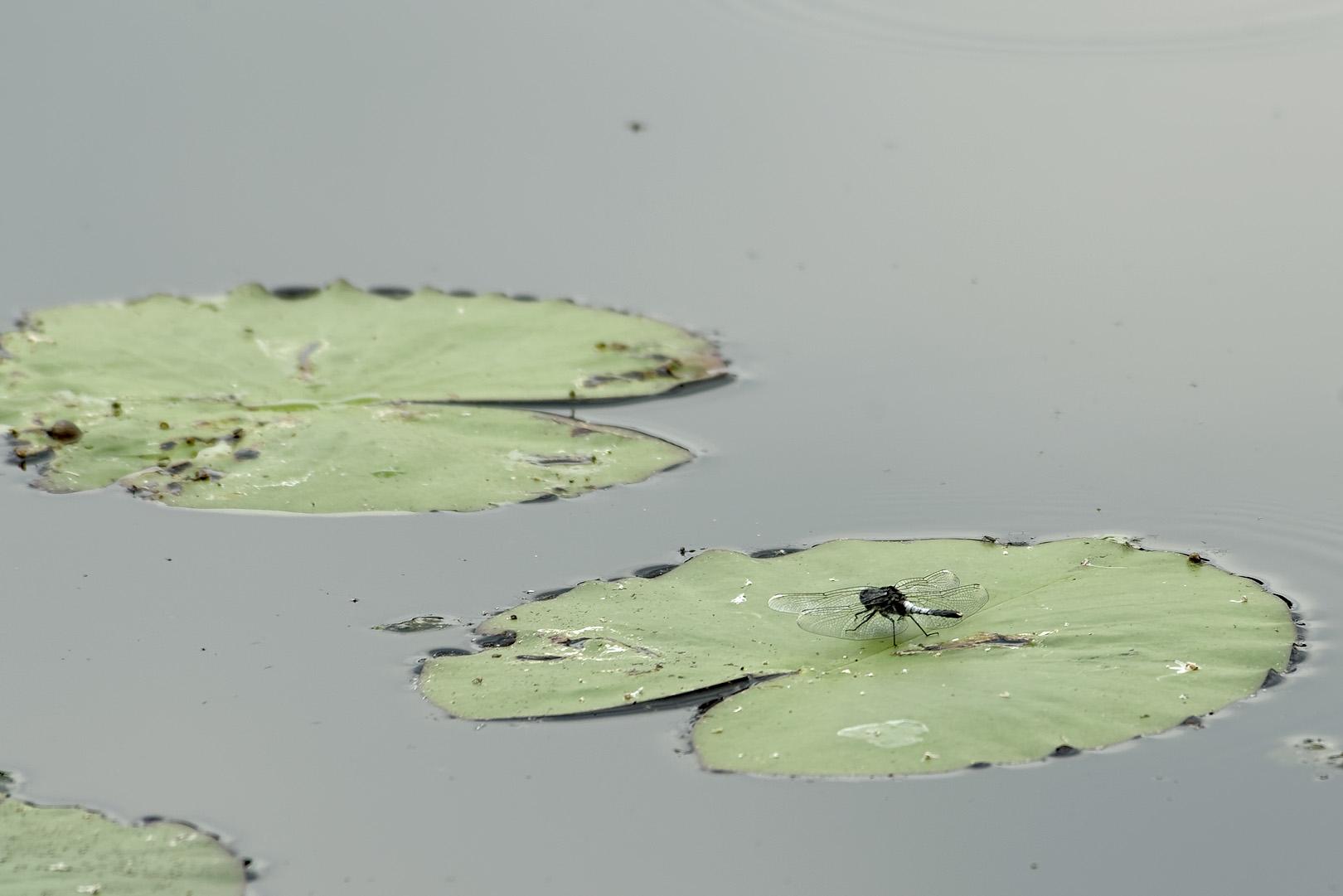 Åkande-Kærguldsmed (Leucorrhinia caudalis)