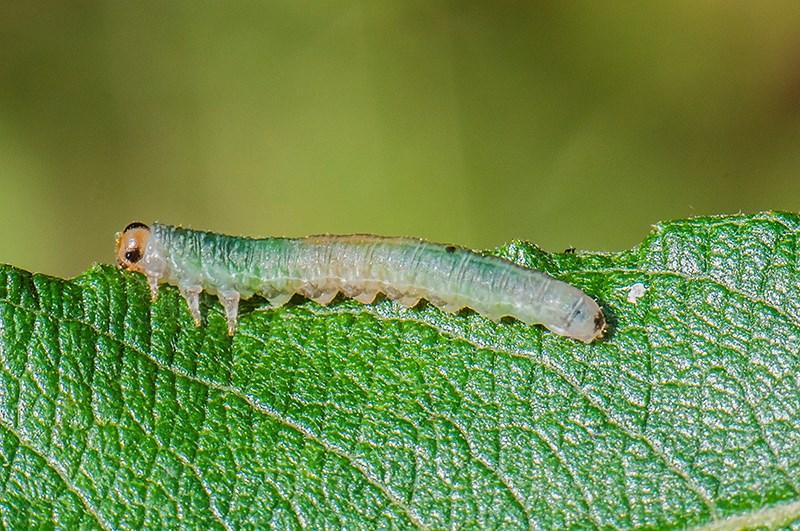 Nematus hypoxanthus (Nematus hypoxanthus)