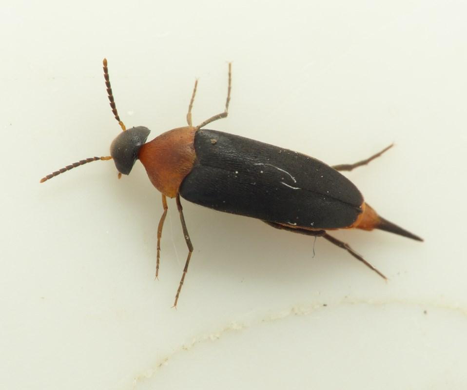 Foto/billede af Mordellochroa abdominalis (Mordellochroa abdominalis)