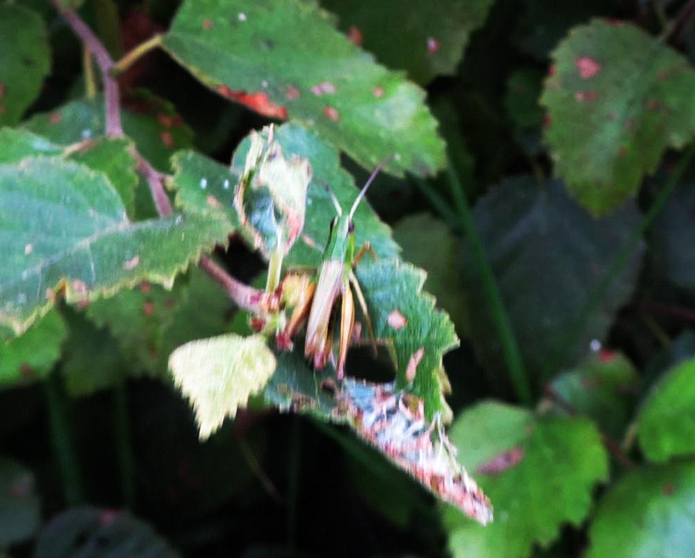 Foto/billede af Enggræshoppe (Chorthippus parallelus)
