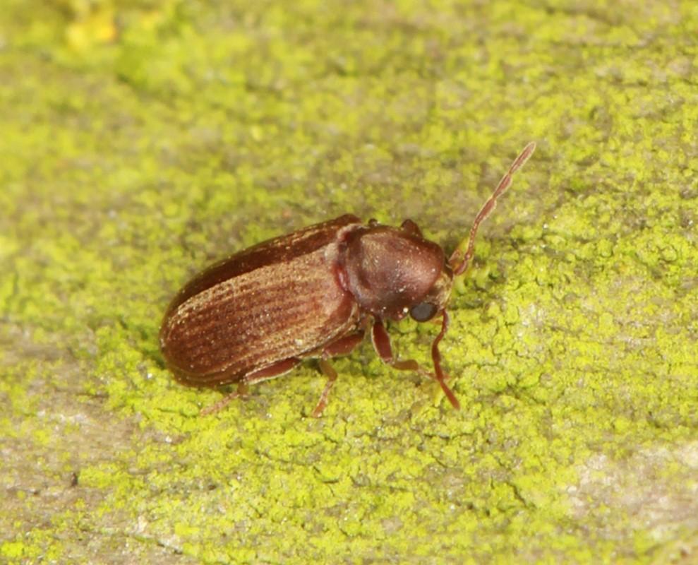 Foto/billede af Almindelig Borebille (Anobium punctatum)