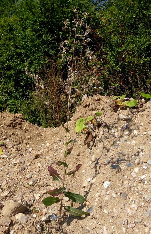Foto/billede af Tornet Salat (Lactuca serriola)