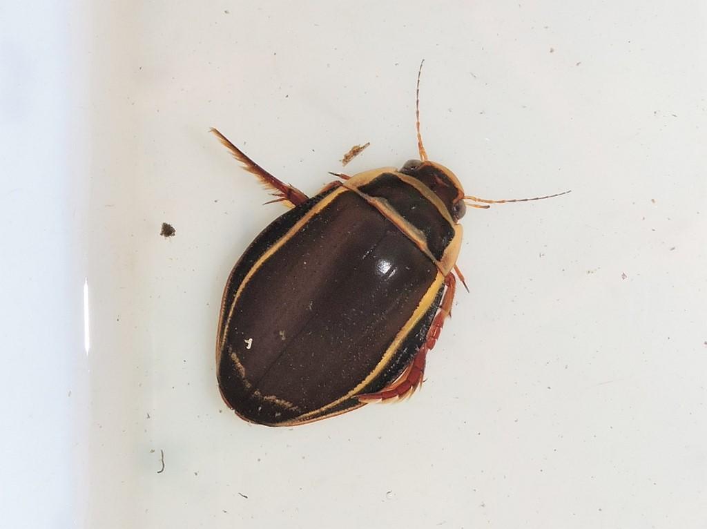 Foto/billede af Bred vandkalv (Dytiscus latissimus)