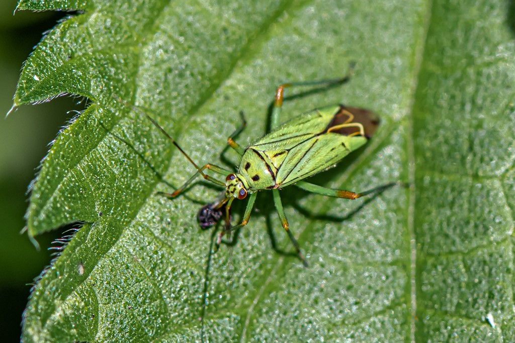 Foto/billede af Mermitelocerus schmidtii (Mermitelocerus schmidtii)
