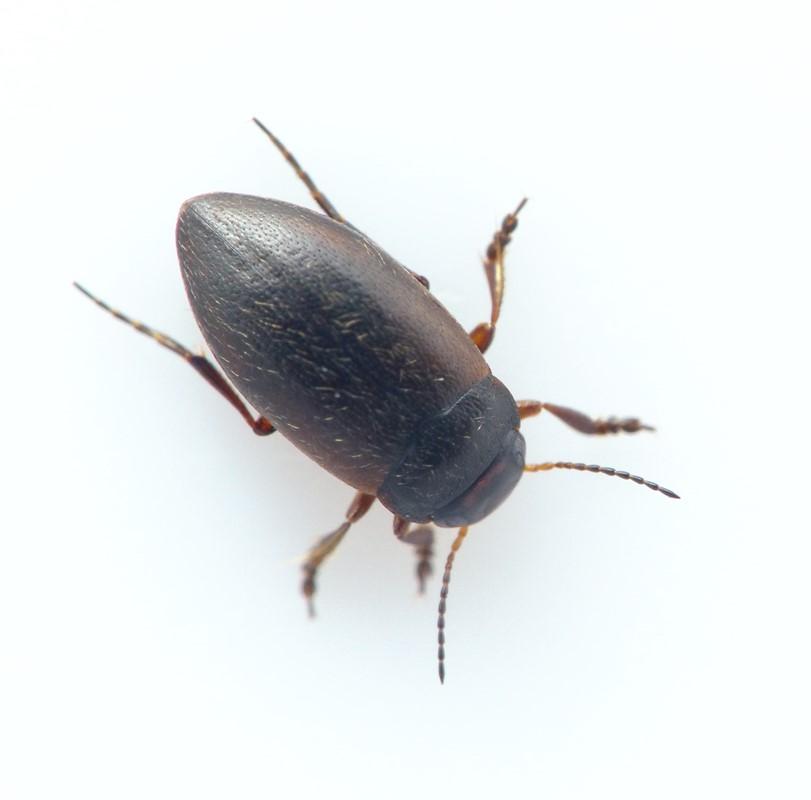 Hydroporus glabriusculus (Hydroporus glabriusculus)