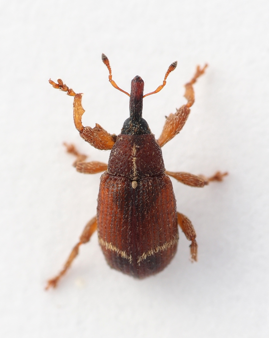 Bradybatus fallax