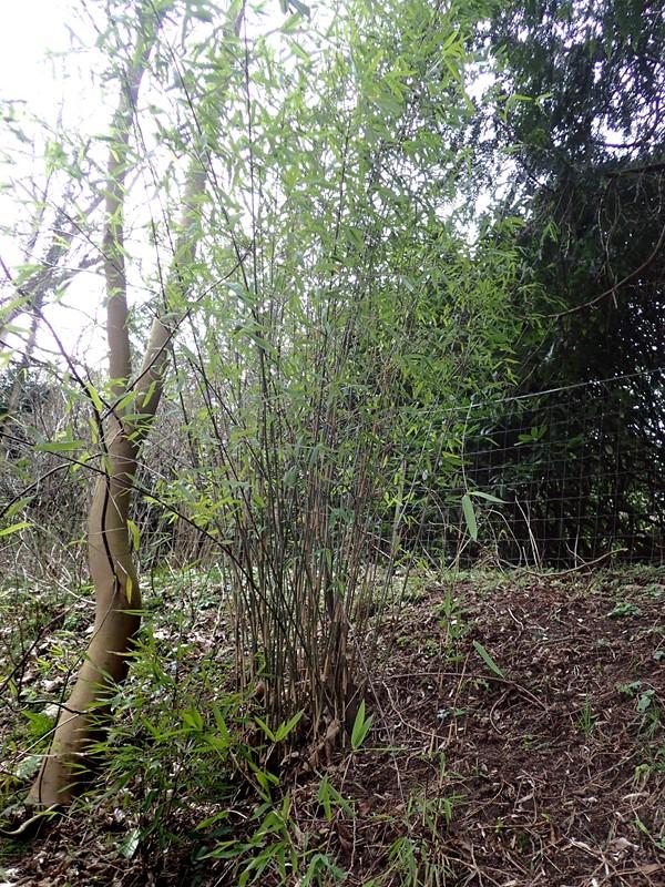 Gul Bambus