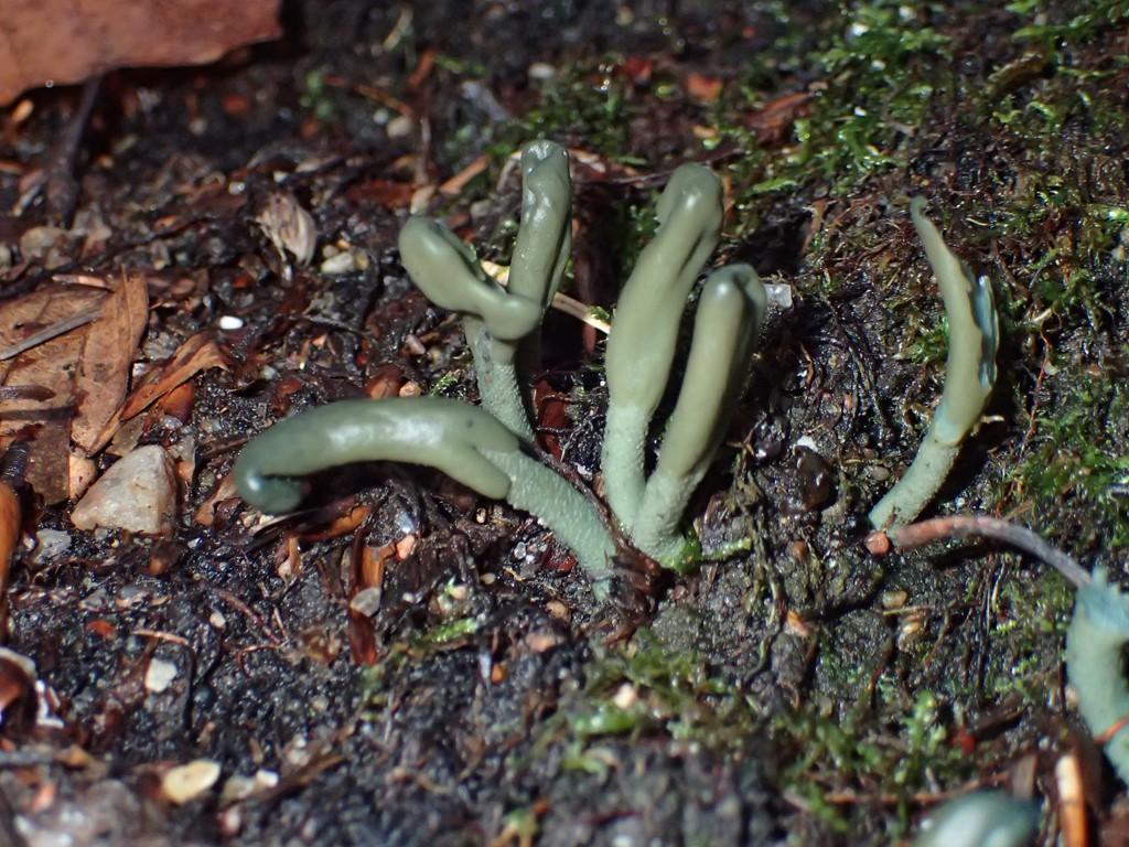 Grågrøn Farvetunge (Microglossum griseoviride)