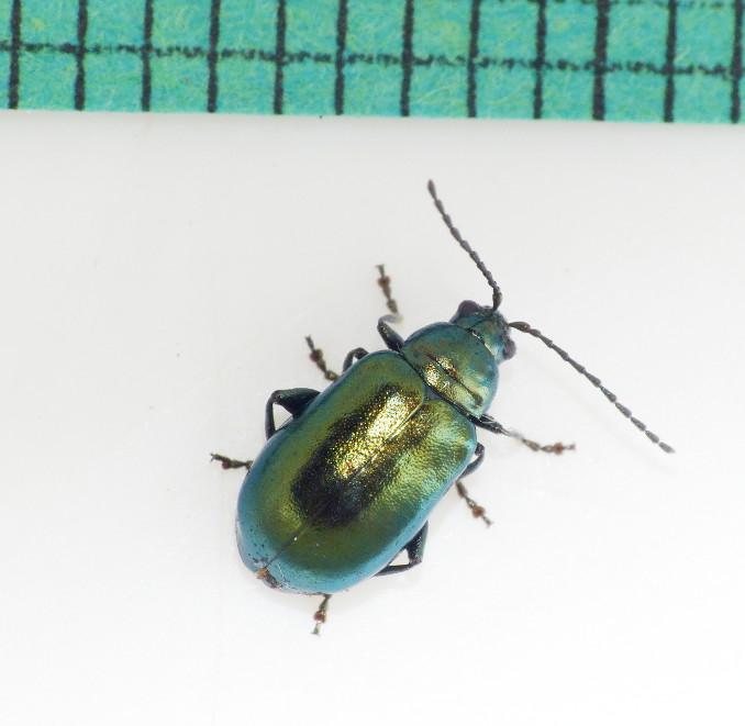 Altica palustris (Altica palustris)