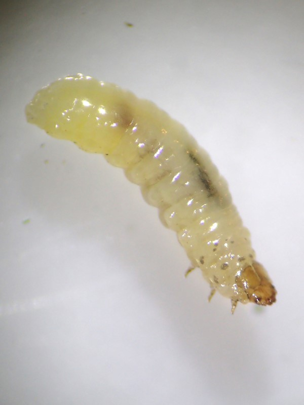 Foto/billede af Tidselkuglebille (Sphaeroderma testaceum)