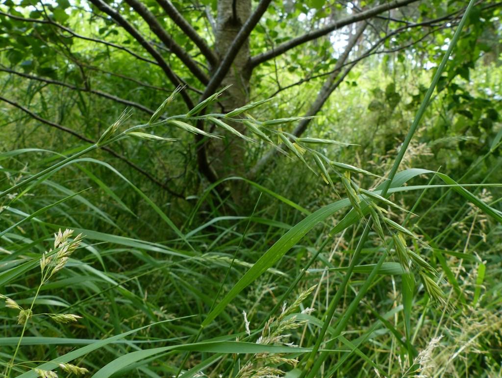 Foto/billede af Almindelig Hundekvik (Elymus caninus)