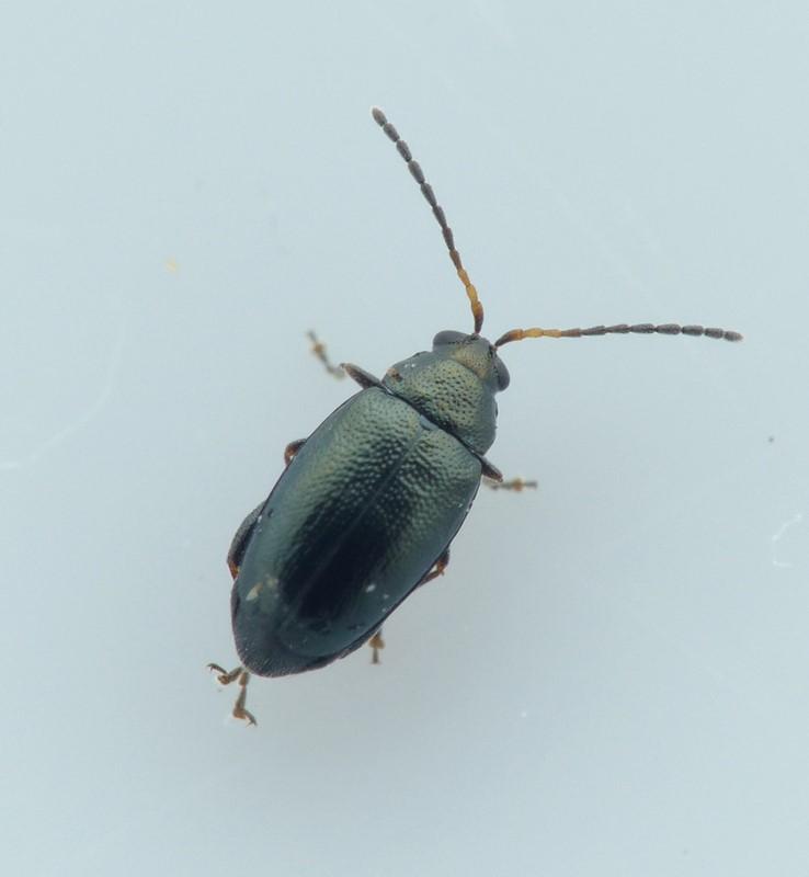 Phyllotreta cruciferae