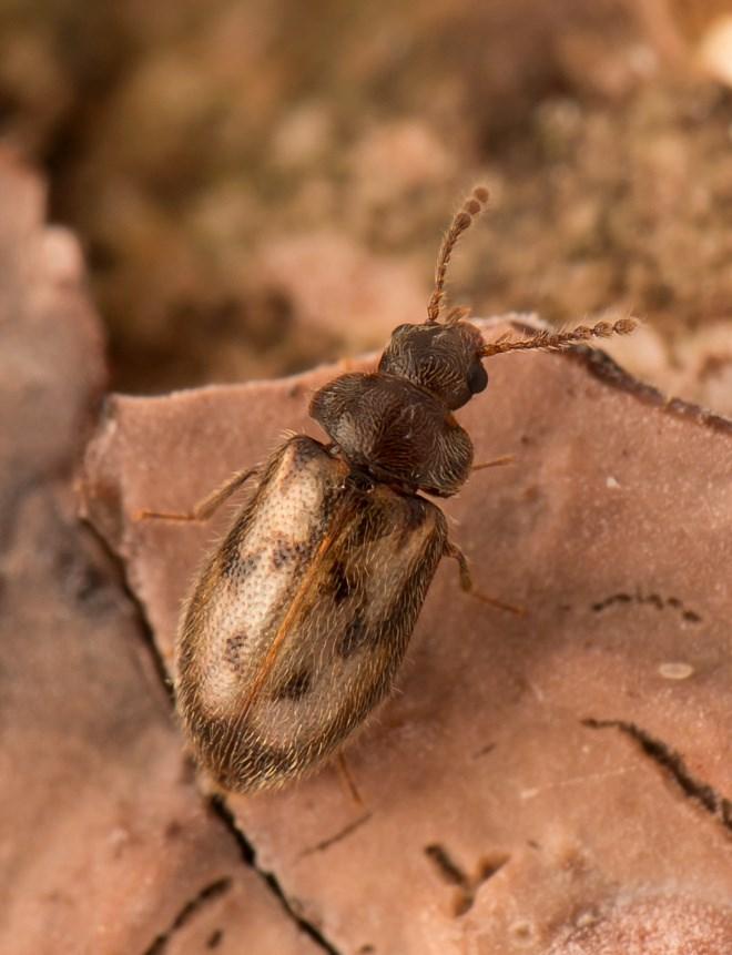 Phloiophilus edwardsii (Phloiophilus edwardsii)