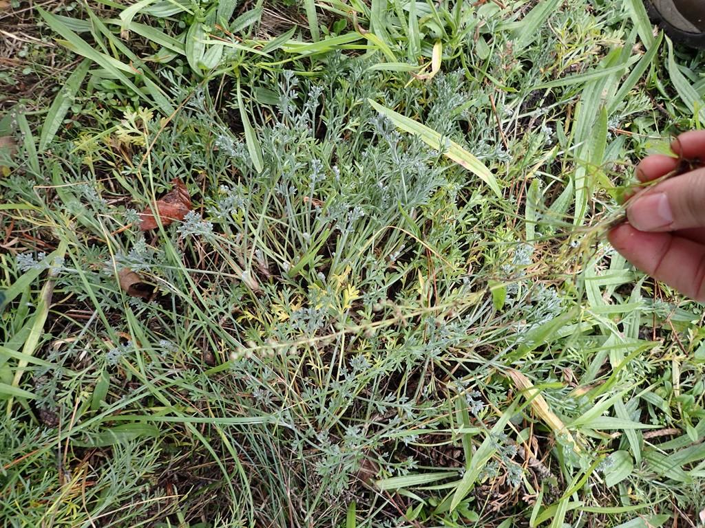 Foto/billede af Mark-Bynke (Artemisia campestris)
