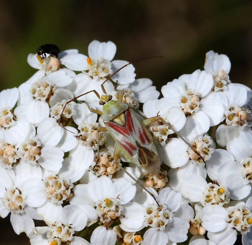 Foto/billede af Rølliketæge (Calocoris roseomaculatus)
