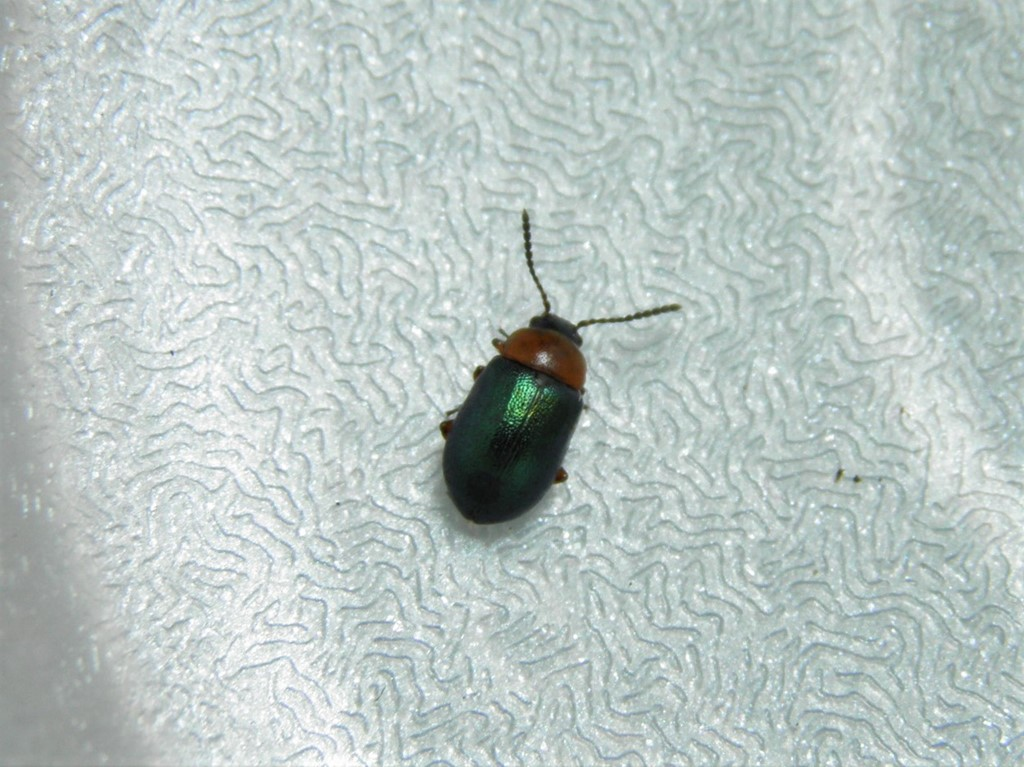 Crepidodera aurata
