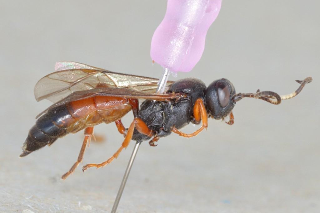 Chasmias motatorius
