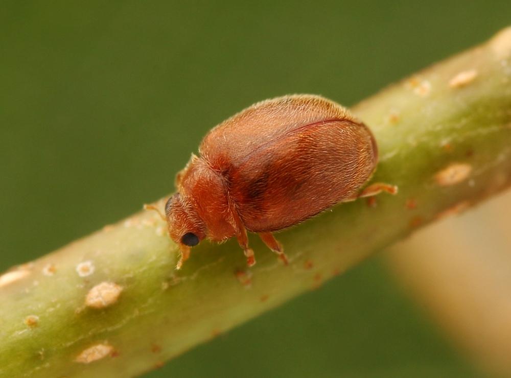 Foto/billede af Scymnus abietis (Scymnus abietis)