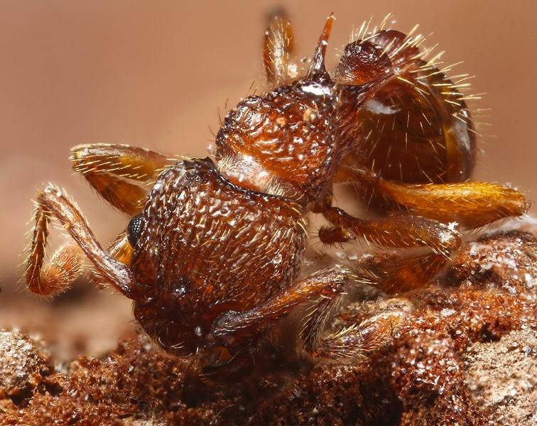 Foto/billede af Hedestikmyre (Myrmica sabuleti)