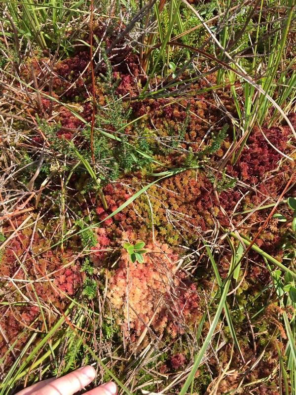 Foto/billede af Kohorns-Tørvemos (Sphagnum rubellum)