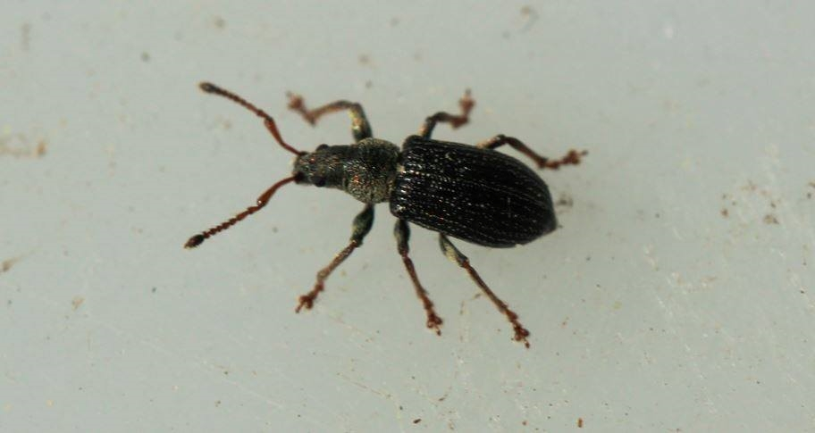 Foto/billede af Lille Løvsnudebille (Phyllobius viridicollis)