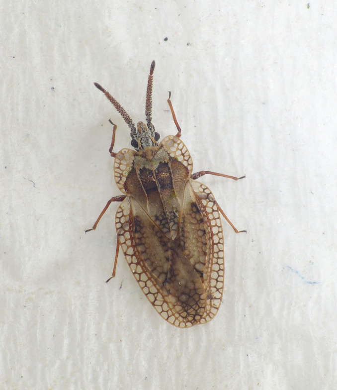 Dictyonota fuliginosa (Dictyonota fuliginosa)