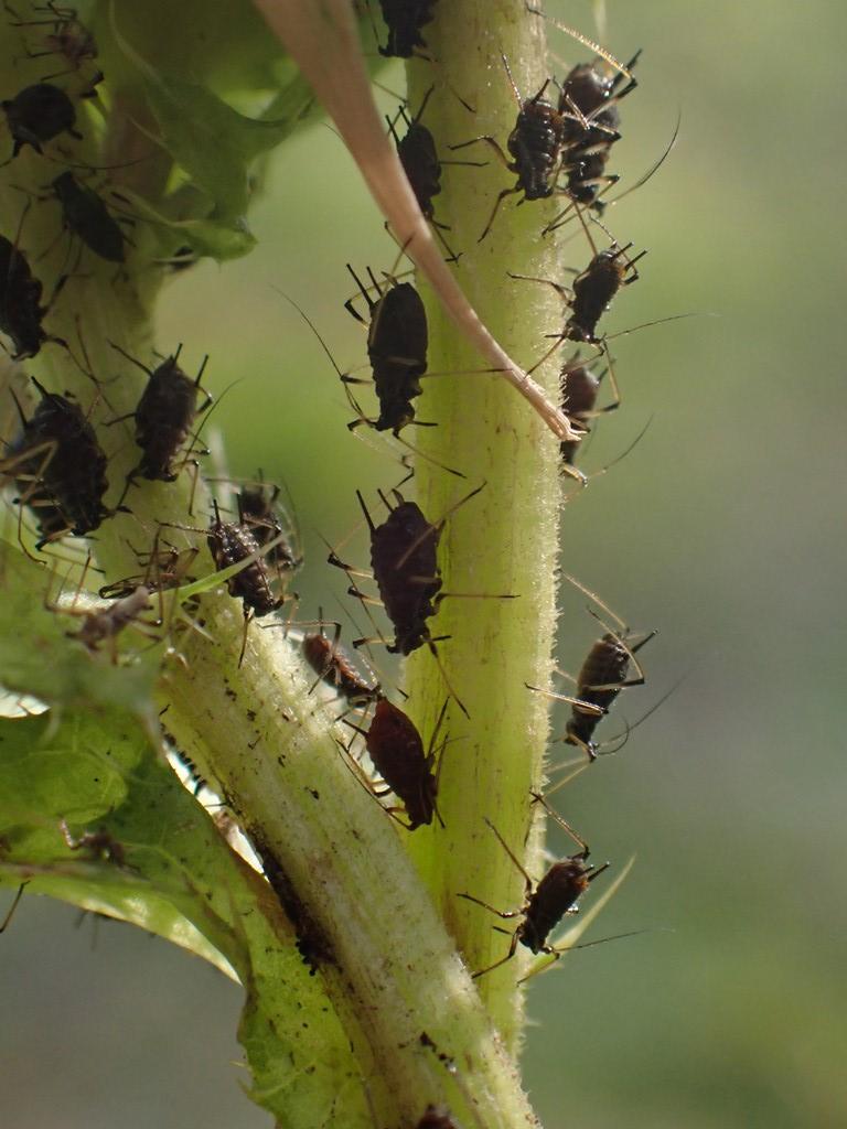 Tidselbladlus (Uroleucon auneum)