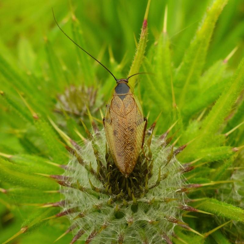 Skovkakerlak