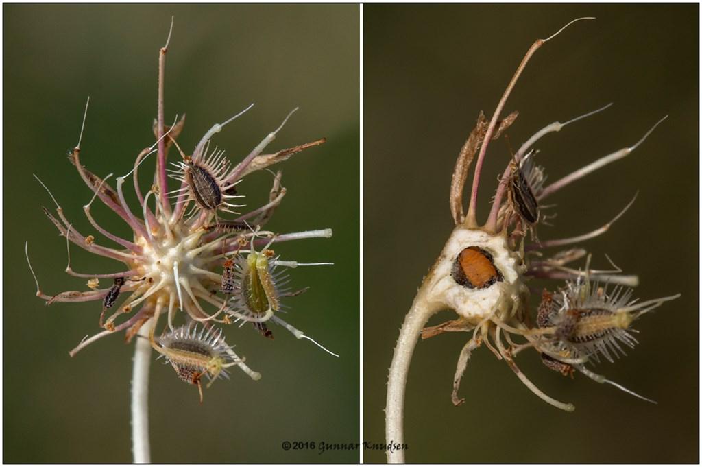 Lasioptera carophila