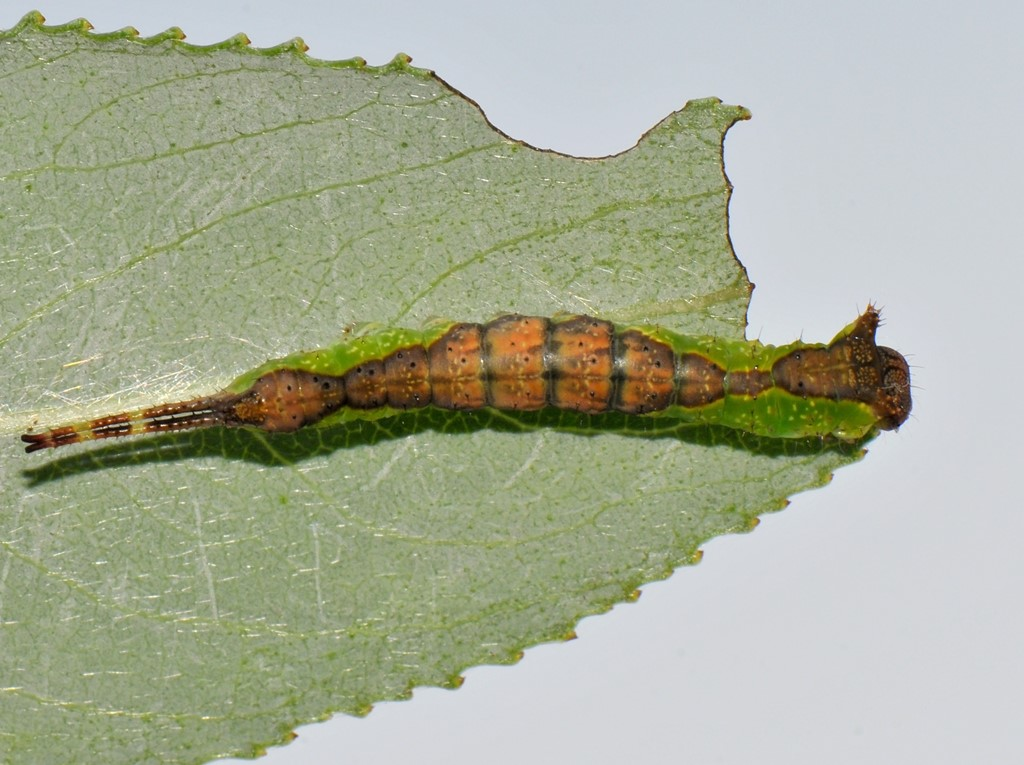 Foto/billede af Pilegaffelhale (Furcula furcula)