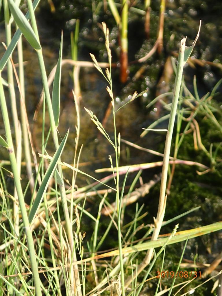 Slap Annelgræs (Puccinellia capillaris)